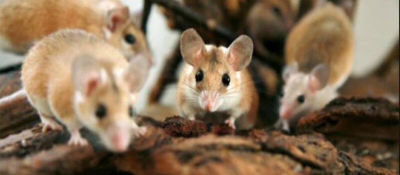 Nguyên nhân gì khiến chuột xuất hiện nhiều như vậy?