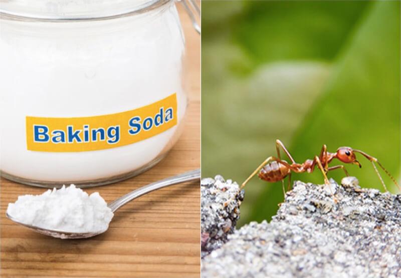 Tiêu diệt kiến bằng bột baking soda